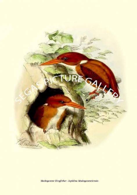 Fine art print of the Madagascar Kingfisher - Ispidina Madagascariensis by  the artist Johannes Gerardus Keulemans (1868-1871)